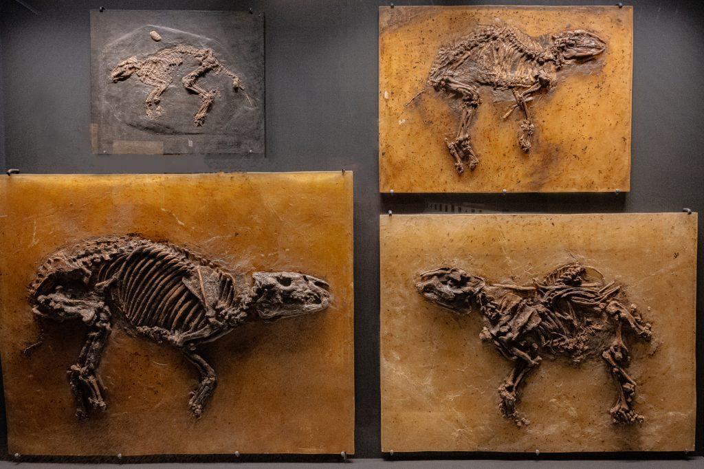 Urpferde und Paarhufer aus der Grube Messel